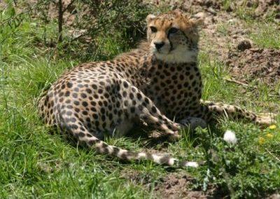 Chester Zoo Cheetah Enclosure